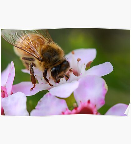 Bee on Geraldton Wax Poster