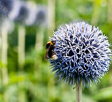 Allium With Bumble Bee by Moonlake