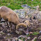 Rocky Mountain Big Horn Sheep by Gregory J Summers