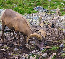 Rocky Mountain Big Horn Sheep by Greg Summers
