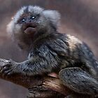 Baby Marmoset by Krys Bailey