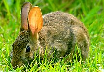 Wild Rabbit Feeding In The Grass by TJ Baccari Photography