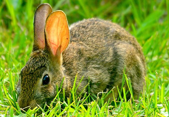 Wild Rabbit Feeding In The Grass by imagetj