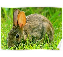 Wild Rabbit Feeding In The Grass Poster