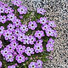 Showy Phlox by John Butler