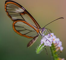 glasswing by Nicole W.