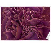 Purple Carnation Macro Poster