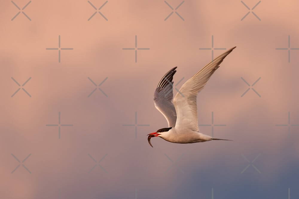 Common Tern with fish by Jim Cumming