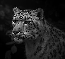 Snow Leopard Portrait, Paradise Wildlife Park by JMChown