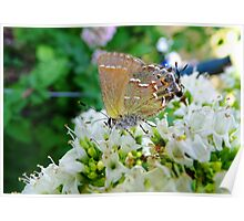 Oregano and Butterfly Poster