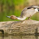 Northern Pintail  by MIRCEA COSTINA