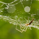 Morning spider by MIRCEA COSTINA