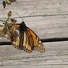 Sunning Monarch by Sherry Sagle
