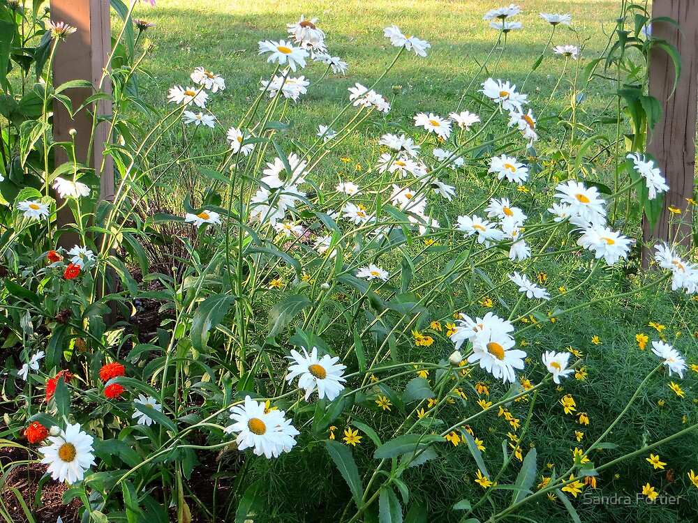 A Rush of Daisies by Sandra Fortier