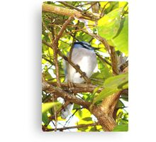 Young, well-fed jay Canvas Print