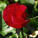 One Red Rosebud by Jan  Tribe