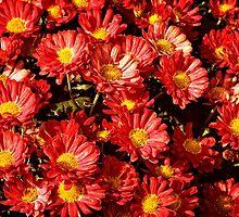 Chrysanthemums by PhotosByHealy