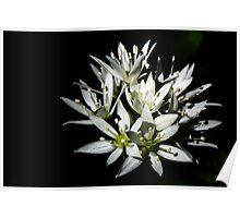 Sunlit white star shaped flowers Poster