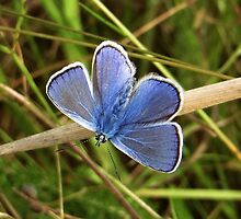 Common Blue by ienemien