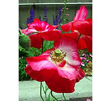 Shocking Poppies  Photographic Print