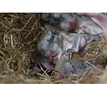 Snuggling Baby Northern Flying Squirrels. Photographic Print