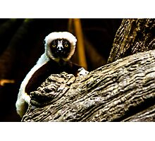 Lemur - At the Cincinnati Zoo Photographic Print