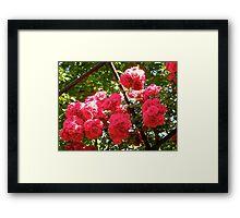 Governor Generals Roses 36 Framed Print