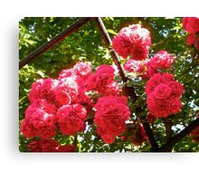Governor Generals Roses 36 Canvas Print