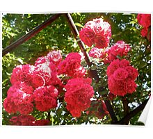 Governor Generals Roses 36 Poster