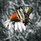 Eastern Tiger Swallowtail by Sharon Woerner