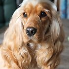 Jessie: My English Cocker Spaniel by aussiebushstick