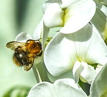 Bee on a white sweet pea by bratpyle