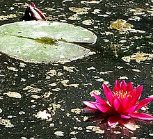 waterlily by beracox