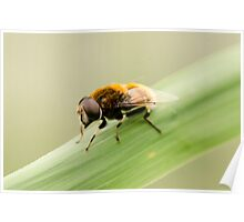 Wooly Bear Hover Fly Poster