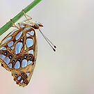 Queen of Spain Fritillary by jimmy hoffman