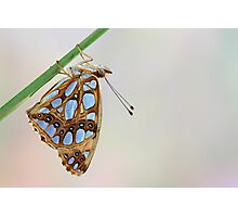 Queen of Spain Fritillary Photographic Print