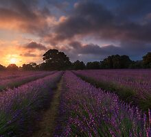 Dawn at Mayfield Lavender by Justin Minns