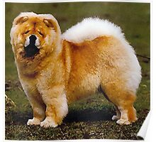 Chow Chow Dog Portrait Poster