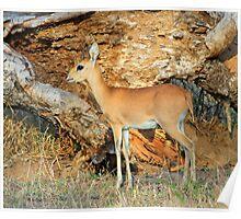 A beautiful Steenbok Poster
