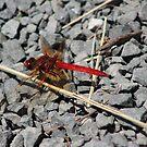 Red Dragonfly by Annie Underwood