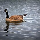 Canada Goose by Rochelle Smith