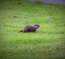 Groundhog by Rochelle Smith