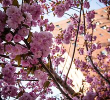 Parkchester Through the Cherry Blossoms by W. Lotus