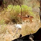 A RARE SIGHT OF A WHITE IMPALA - IMPALA - aepyceros melampus - A SONG FOR MAPUNGUBWE by Magaret Meintjes