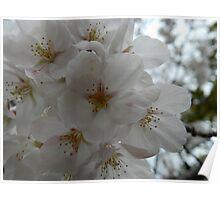 Cherry Blossom, Sakura Poster