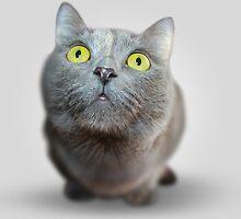 Wide Eyed Grey Cat by CinnamonPie