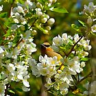 Cedar Waxwing enjoying the Spring Blossoms by dmacneil