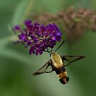 Hummingbird Moth by photodug