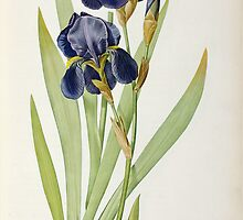 Iris Germanica by Bridgeman Art Library