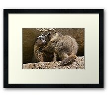 Marmot fight Framed Print